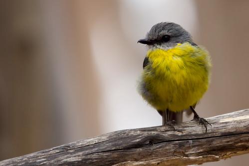Eastern Yellow Robin 2013-01-26 (_MG_0047)