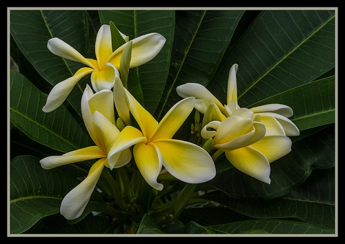 Gardens by the Marina Bay Frangipani-07=