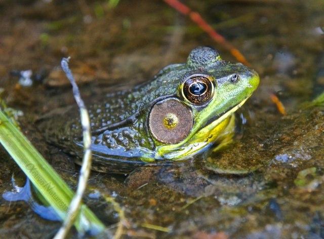 american bull frog 0018 Harriman park, NY, USA