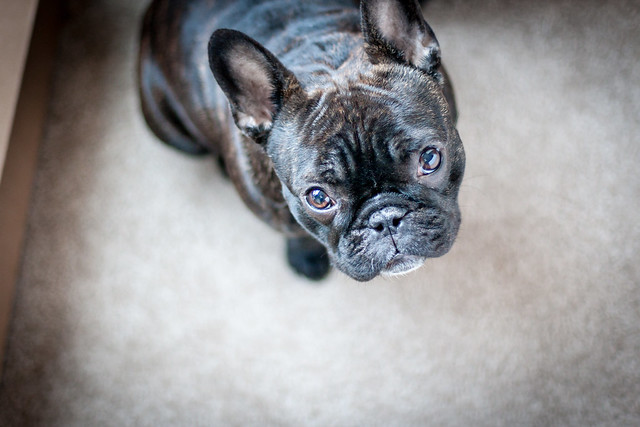 Frenchie on the Floor
