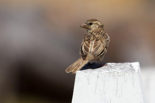Sparrow 2013-01-16 (_MG_9872)