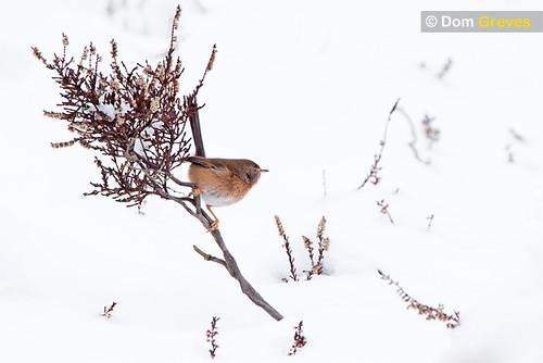 Dartford Warbler Snow Drift
