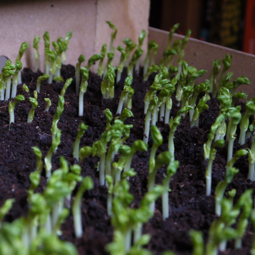 Pea Shoots - day 15