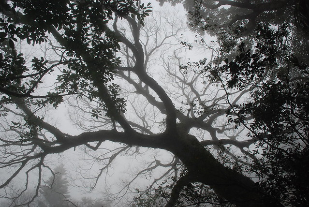 Trees and fog along Old Peak Road
