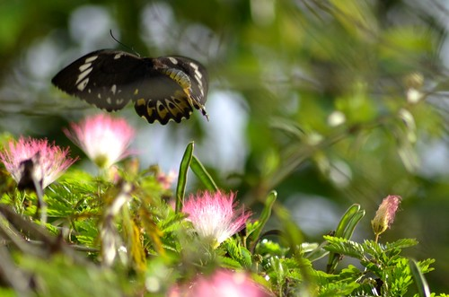 butterfly flight2