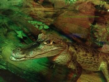alligator(fynewever)