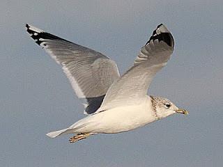 Common Gull Larus canus Kilnsea January 2011