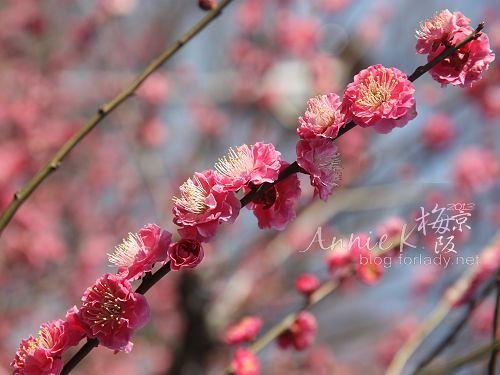 大阪城公園梅林6