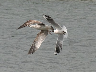 Caspian Gull Larus cachinnans North Cave Wetland, East Yorkshire May 2011