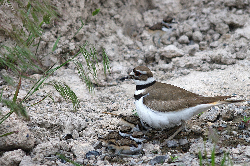 Killdeer with youngsters