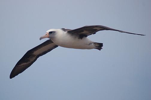 Laysan albatross flying