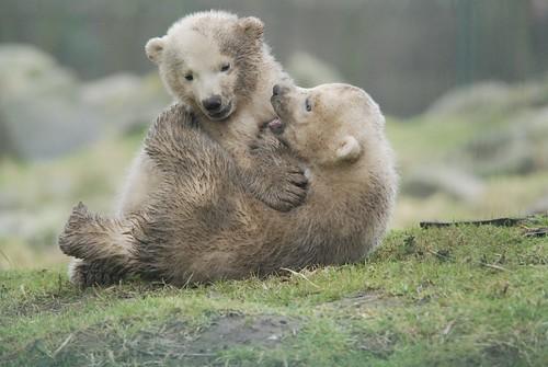 Eisbären Pixel und Noordje im Dierenrijk in Nuenen bei Eindhoven