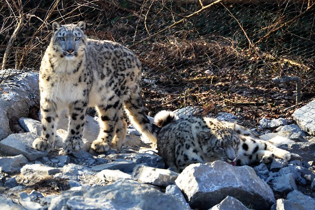 Snow Leopard Sunday