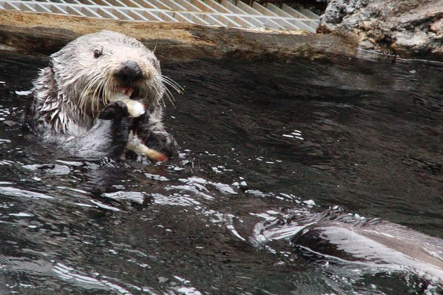 He otter be hungry: A visit to the Seattle Aquarium