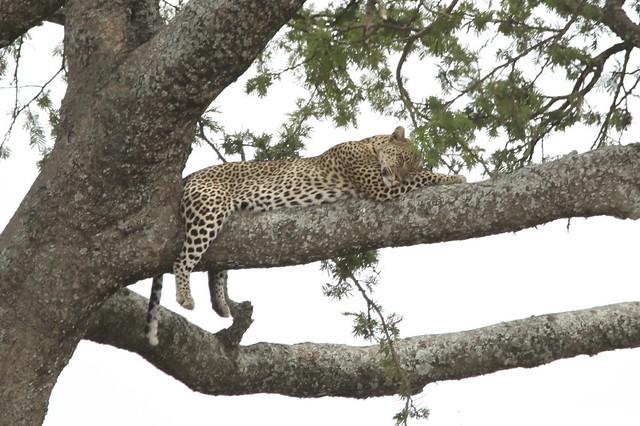 Sleeping African Leopard (Panthera pardus)