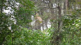 Tyto alba liberado en el Humedal Córdoba