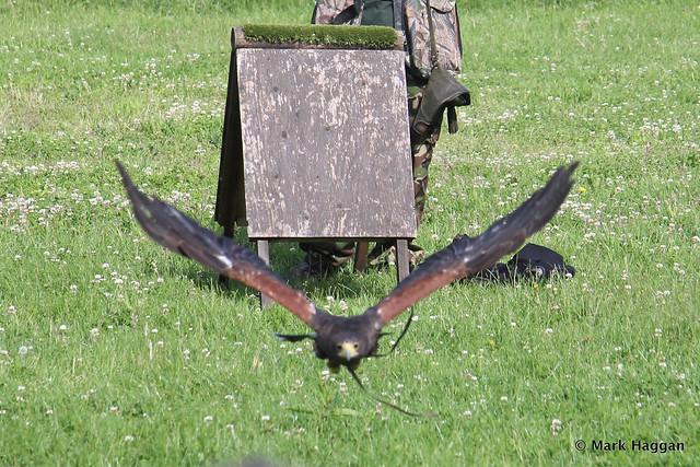 A hawk in flight