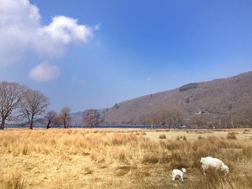 Lamb and sheep grazing safely, Llanberis