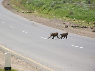 Babuínos cruzando la carretera