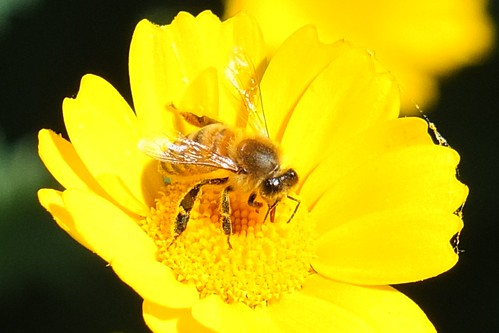 Bee on Paris Daisy.jpg by Patricia Manhire