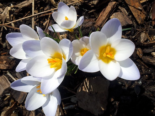 blue pearl crocus spring 13