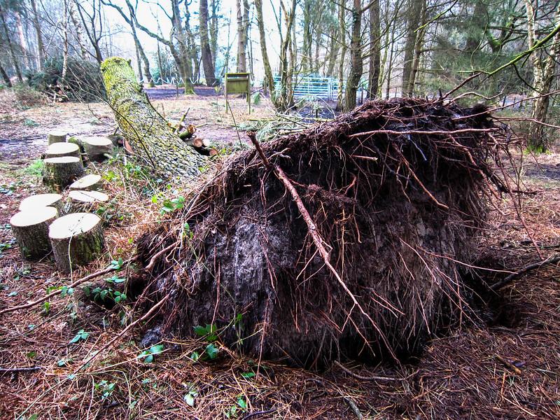 Fallen Tree on Upton Heath