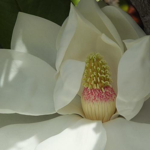 Magnolia_0032.jpg by Patricia Manhire