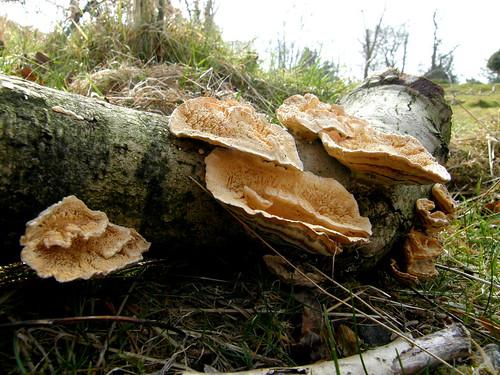 Bracket fungus II