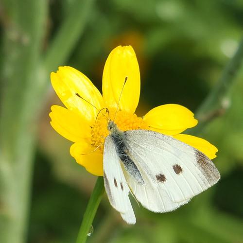 White Butterfly on Paris Daisy_0002.jpg by Patricia Manhire