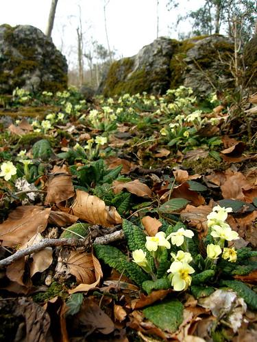 An abundance of primroses II