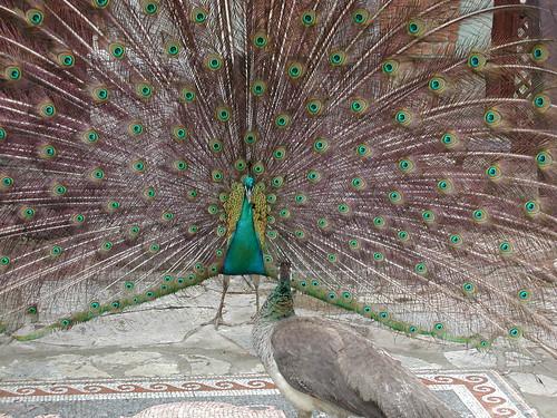 200304190021_peacock