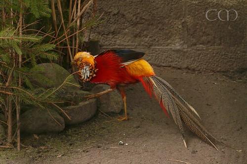 A Golden Pheasant!