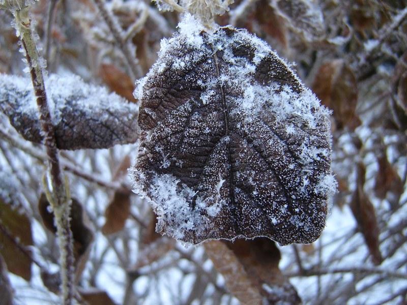 frost on leaf in fall garden
