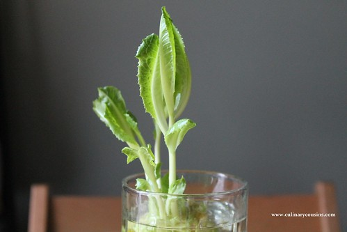Growing Romaine, Day 10 at www.culinarycousins.com