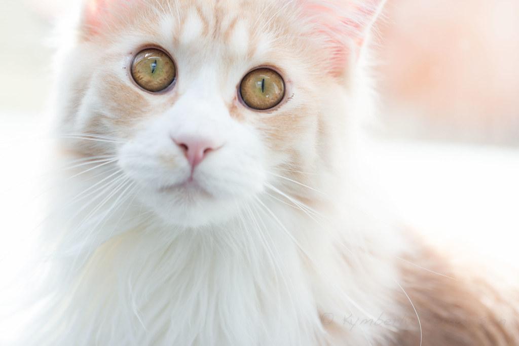 Johnny - Maine Coon ginger kitten