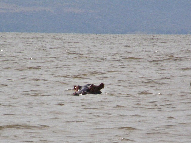Hipopótamo (Hippopotamus amphibius)
