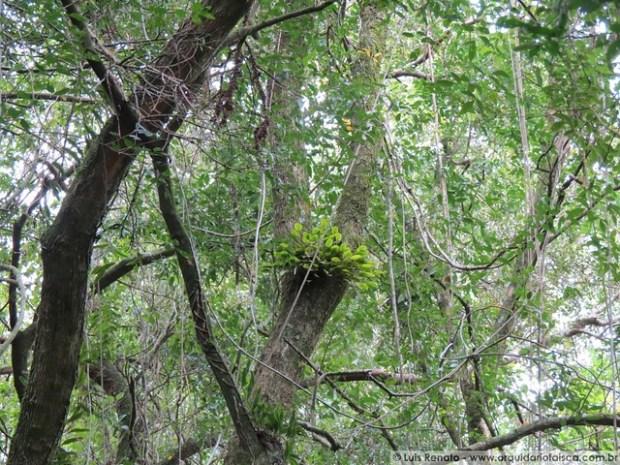 Acianthera sp