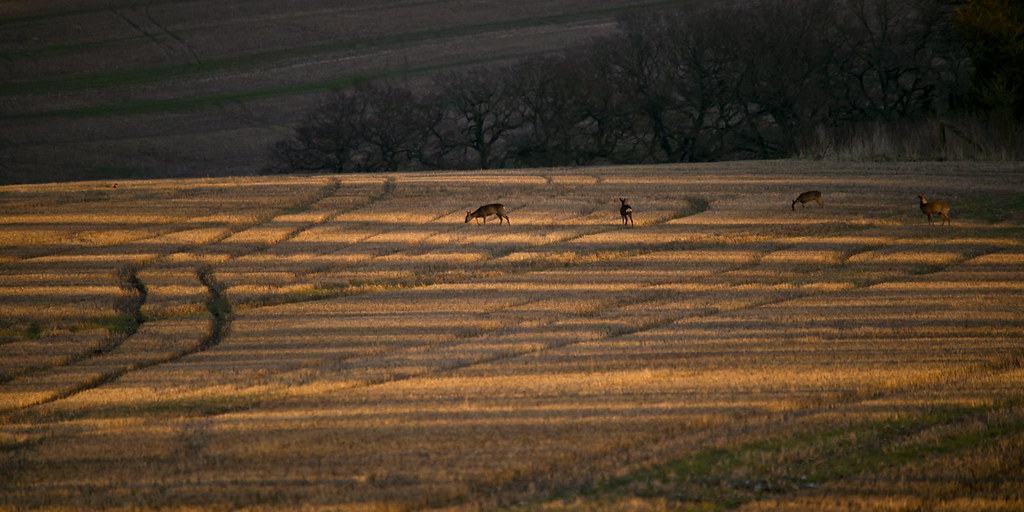 Roe deer graze evening fields