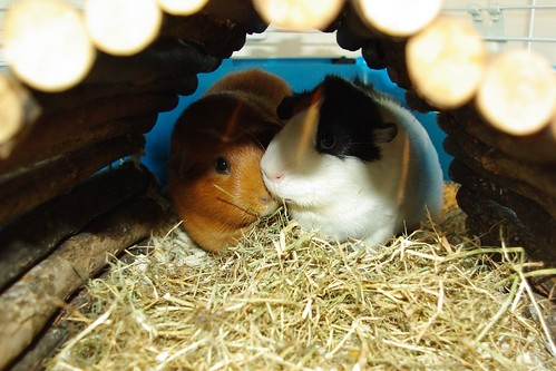 20130323-07_Patch + Tufty - Guinea Pigs or Cavies by gary.hadden