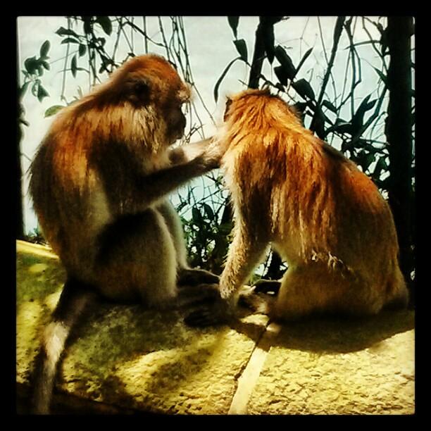 Two loving monkeys at MacRichie Reservoir