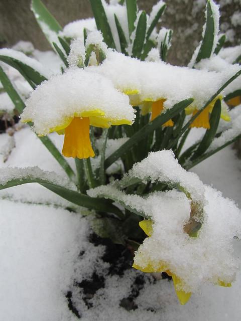 Snowy daffs