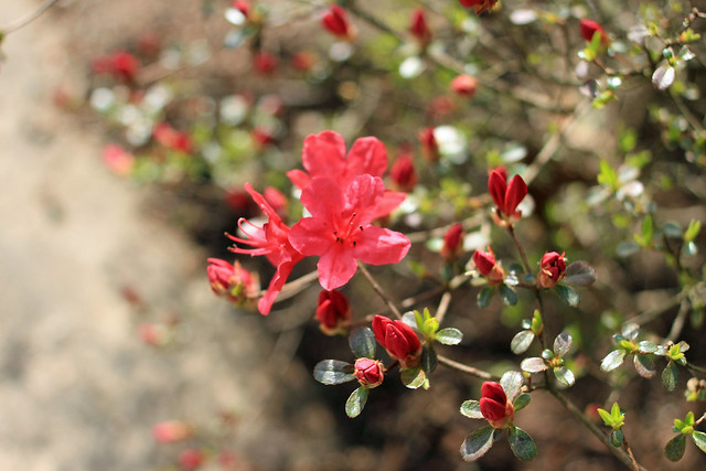 First Azalea Bloom