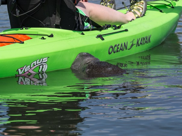Manatee checking out Mary's kayak