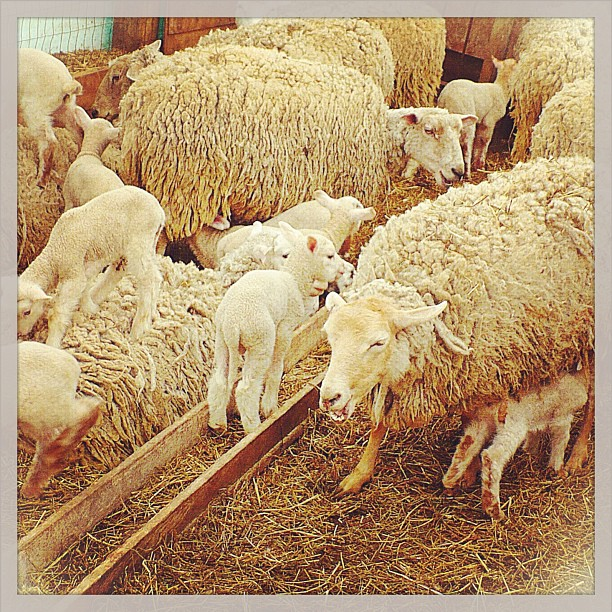 Apr 13 - an animal {sheep & lambs @ Nyman Farms during Maple in the County} #photoaday #princeedwardcounty #sheep #lambs #mapleinthecounty
