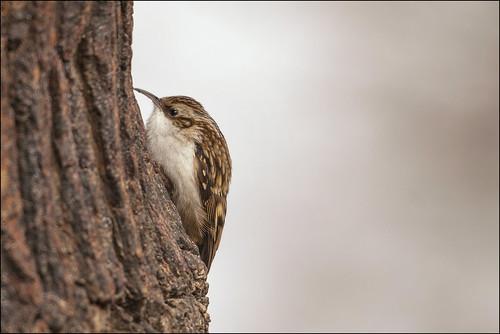 Treecreeper by Ben Locke (Ben909)