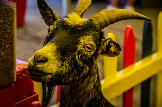 Yellowish Goat