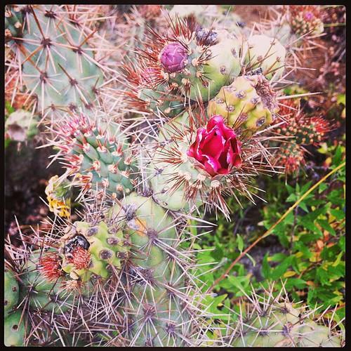 Cholla flower.