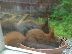 Zwei kleine Eichhörnchen