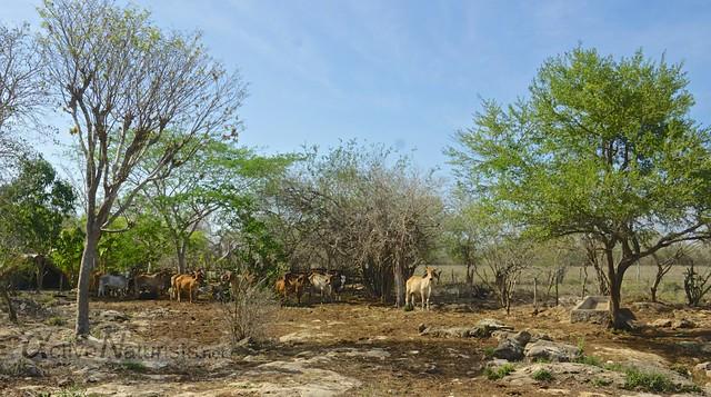 cows 0001 cenote Kaipech, Yucatan, Mexico