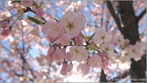 Sakura Season in Vancouver